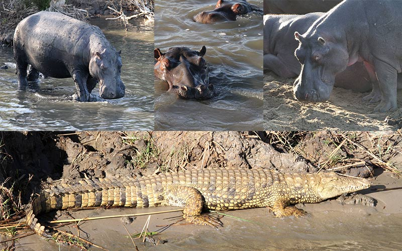 hippo and croc tour