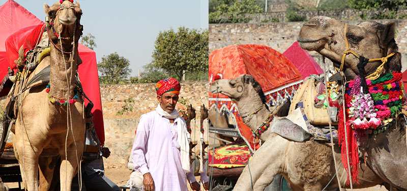 kamelen safari Pushkar