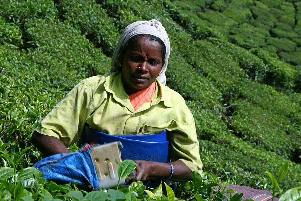 Vrouwen plukken thee in Munnar