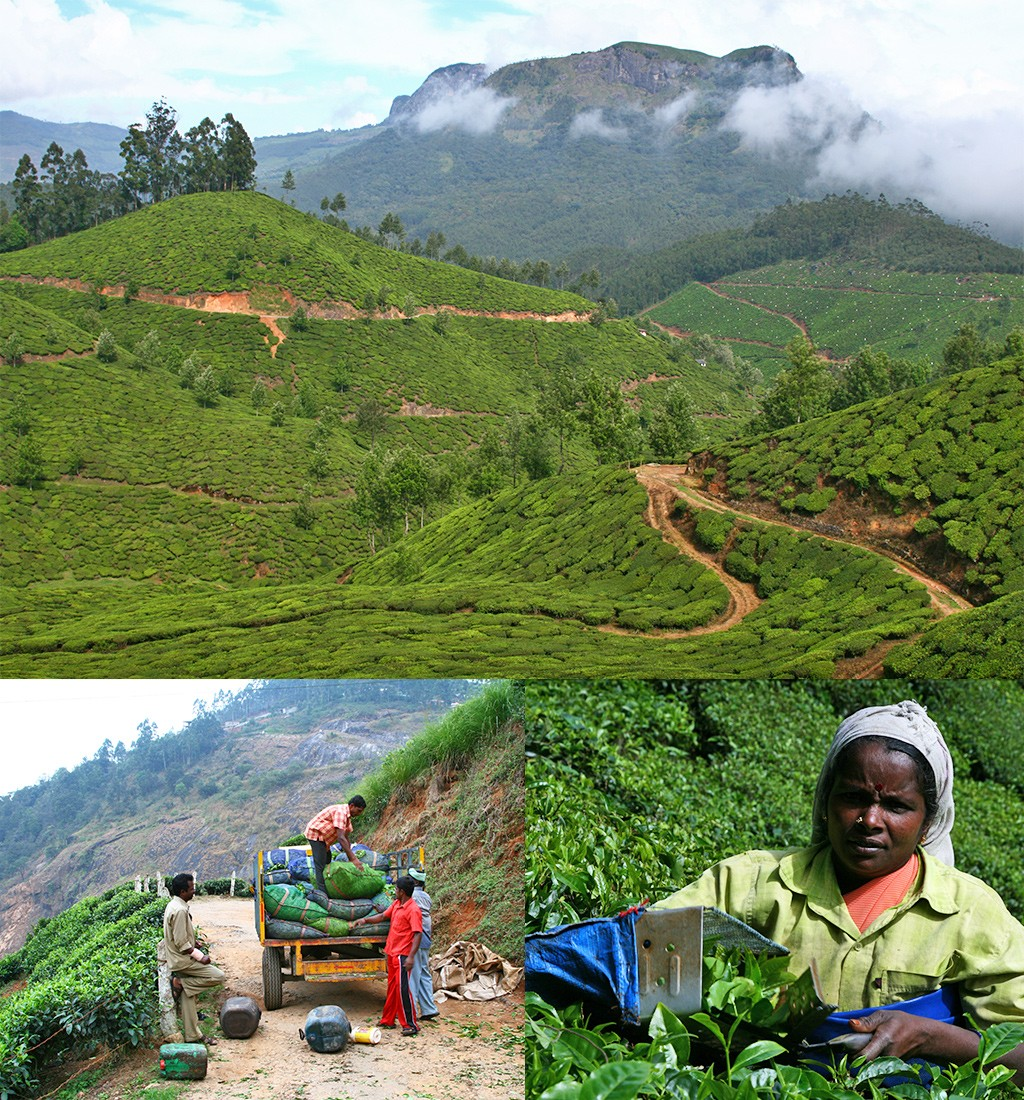 Munnar Kerala thee