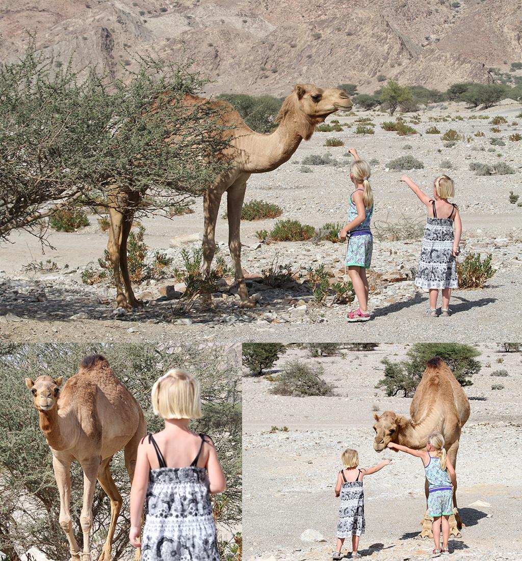 Oman met kinderen - kamelen