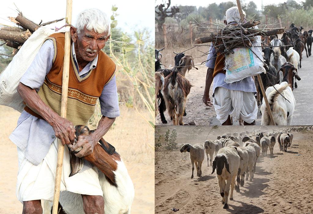 Shekawati herders