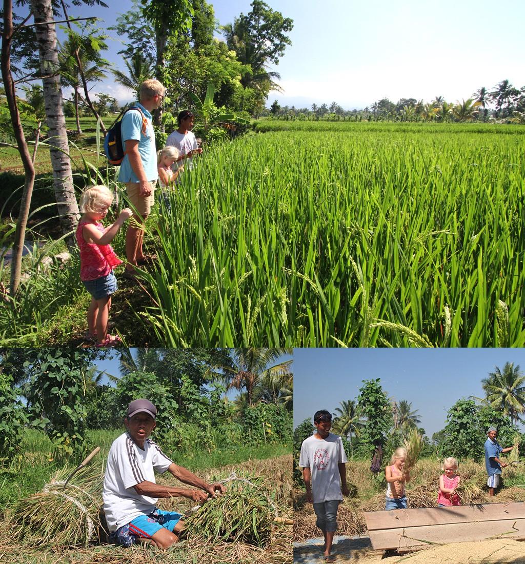 Tetebatu wandeling door rijstvelden