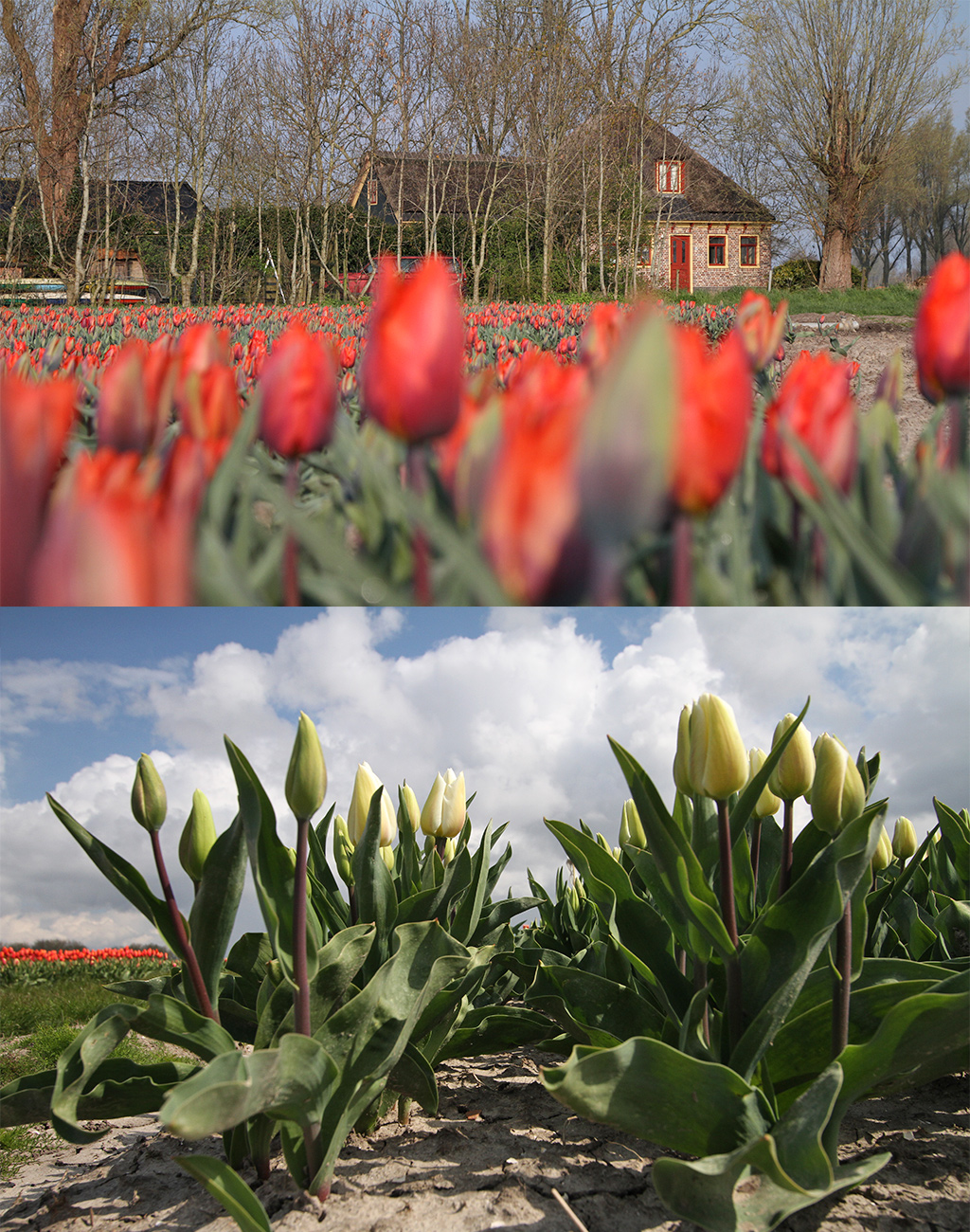 bloeiende tulpenvelden