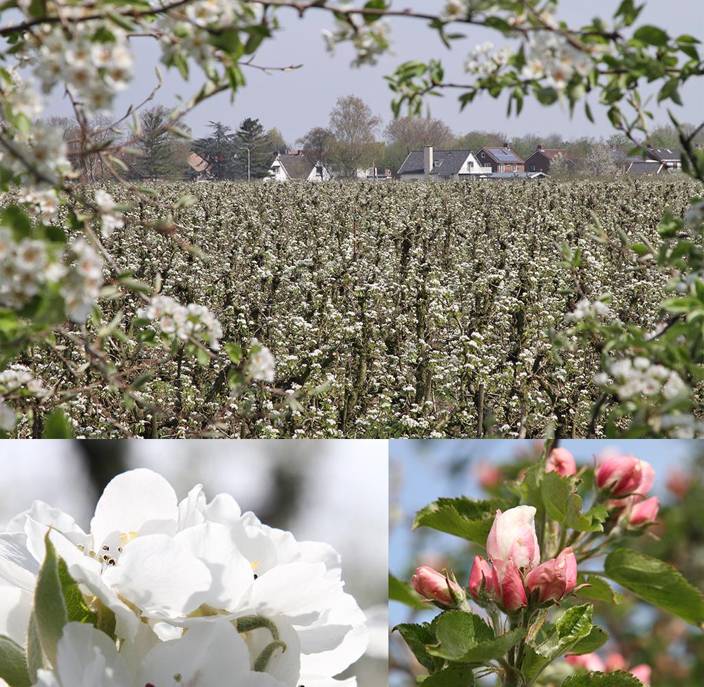 bloesem in de Betuwe - Geldermalsen - Beesd