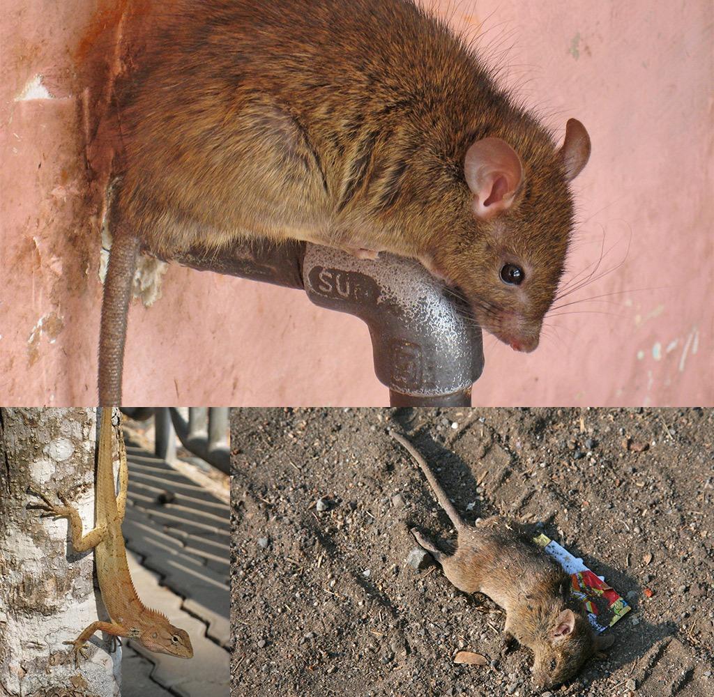 Ratten en reptielen genoeg op wereldreis