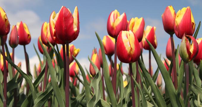 tulpen en bollenvelden routes tips fotografie