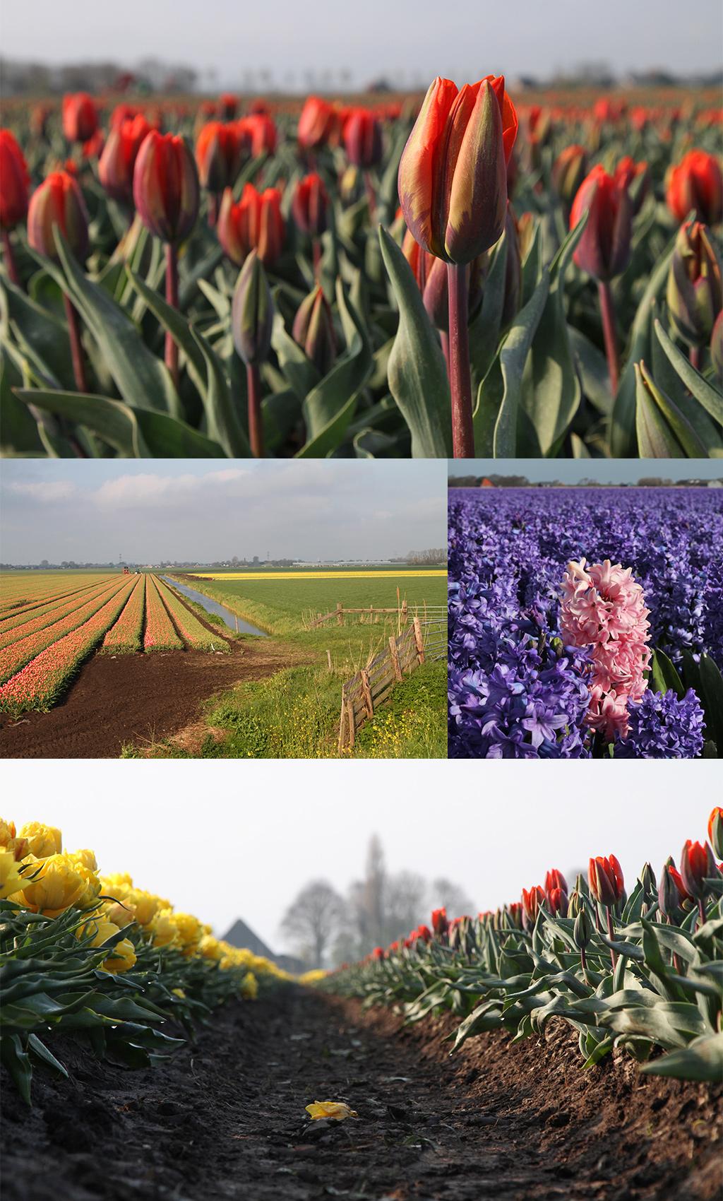 tulpen en bollenvelden - routes tips
